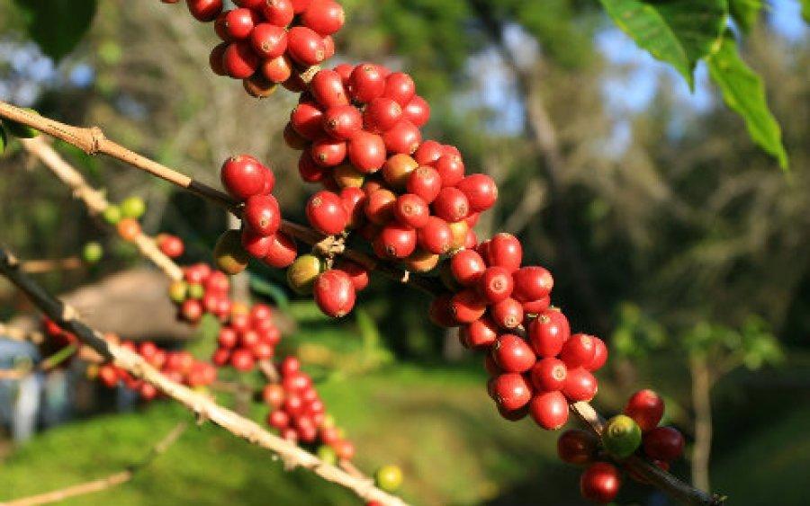 Plataforma Global do Café é referência em...