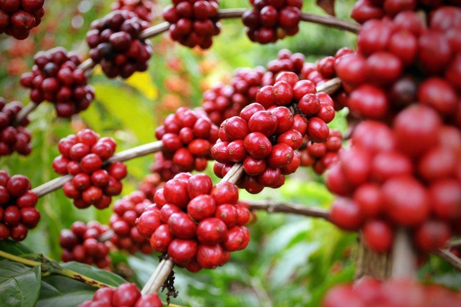 Rondônia lança cartilha contendo orientações para a safra de café 2020 dos Robustas Amazônicos em tempos de COVID-19