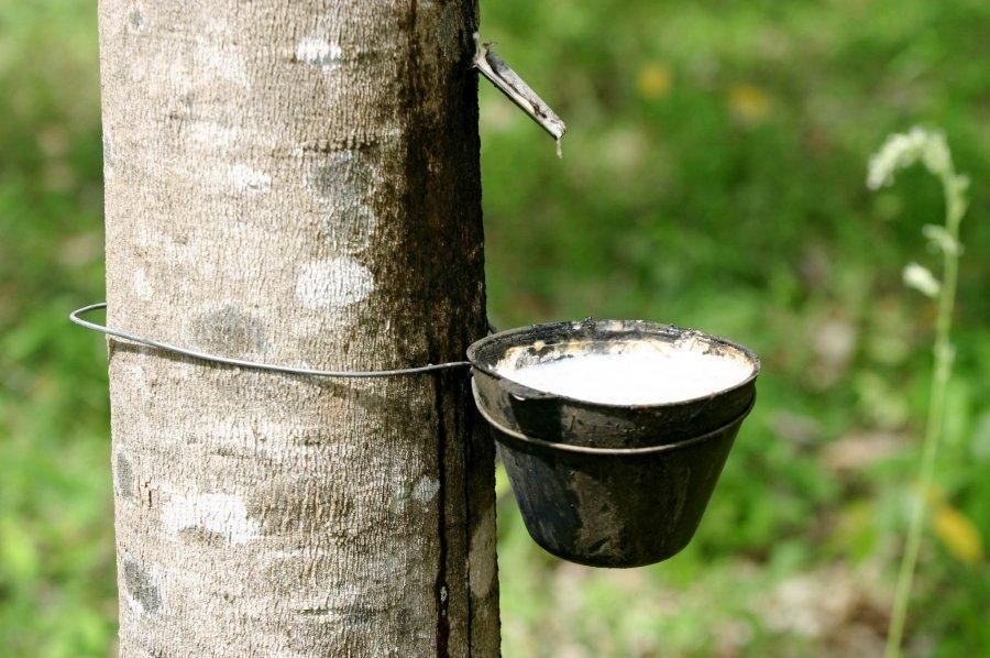 Extrativistas de borracha natural de Rondônia...